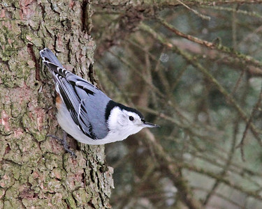 White-breasted Nuthatch @ Mohican State Park - Feb 2013