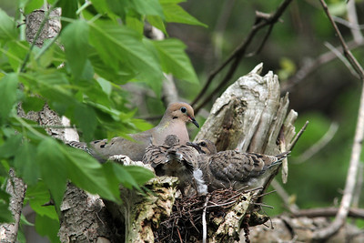 Mourning Dove @ Magee - May 2013