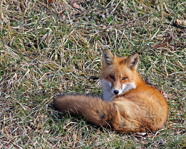 Red Fox @ Mohican State Park - Feb 2013