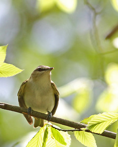 Red-eyed Vireo @ Blacklick Woods Metro Park - May 2013