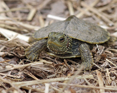 Baby Painted Turtle @ Magee - May 2013