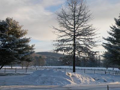 Oak tree at billings farm