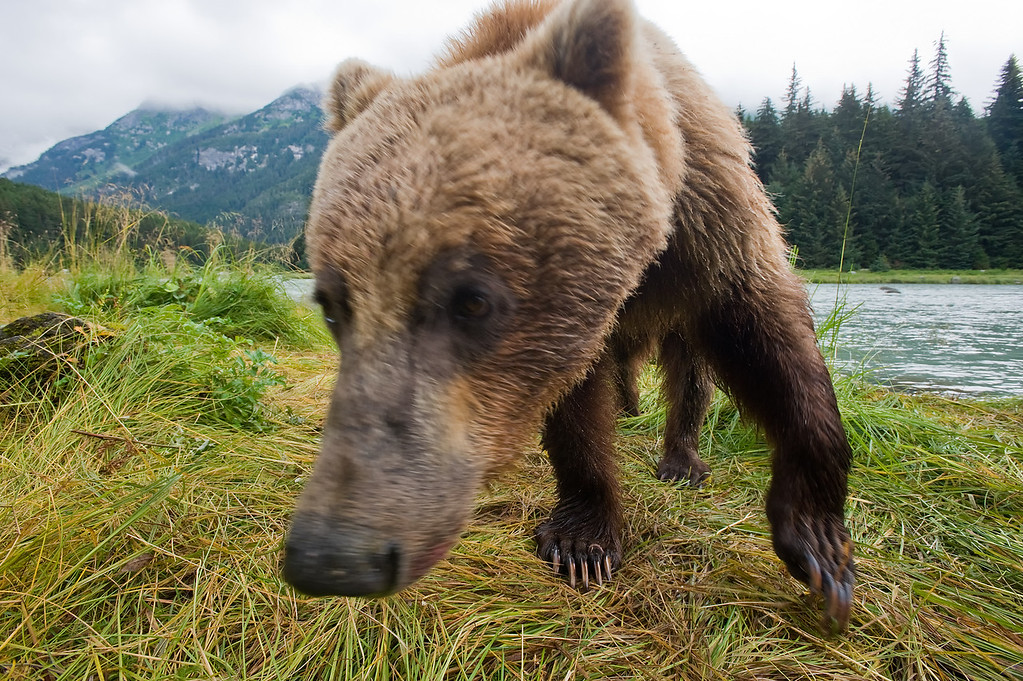 A close up shot of a sow grizzly on the banks of the Chilkoot River on the Alaskan Coast.