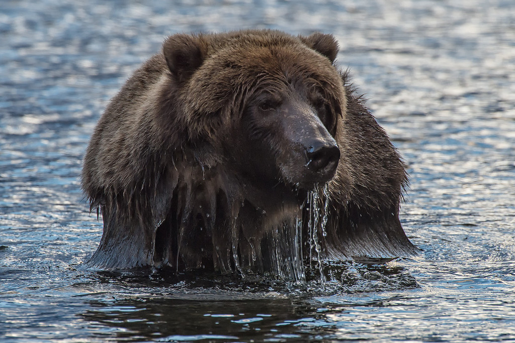 This sub-adult grizzly comes up after snorkeling a salmon pool in search of a good meal.