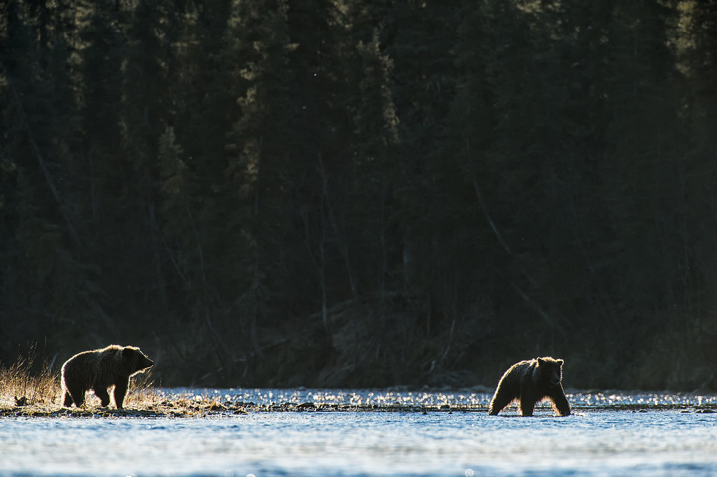 Often, sub-adult grizzlies will team up and fish together for protection and increased vigilance from adult grizzlies.
