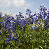 Bluebonnets for Wildflower category for May competition. These were taken in a large field of bluebonnets on Highway 6 between the Highway 6/290 split and Navasota, Texas.<br /> Photo taken Easter Monday - 4/1/2013, but that's no April Fool!