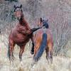 Alberta Wild Horses - 2 stallions