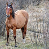 Alberta Wild Horses -  this is the one of the mares the stallions are fighting over
