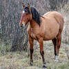 Alberta Wild Horses - mare