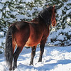 stallion - he has icicles hanging in the tail...