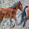 Alberta Wild Horses - foal scrambling to the top of a hill