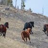 Alberta Wild Horses - the lead mare leading the band