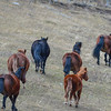 Alberta Wild Horses - this band is made up of about 10 horses