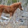Alberta Wild Horses - foal