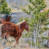 Alberta Wild Horses - all moving up the hill