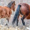 Alberta Wild Horses - foal and mare
