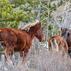Alberta Wild Horses - the lead mare decided to head over the hill and moved the band very quickly