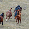 Alberta Wild Horses - all moving a  quick pace to the top of the hill