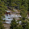 Alberta Wild Horses - high on a ridge
