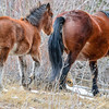 Alberta Wild Horses - foal and mare heading up a steep hill