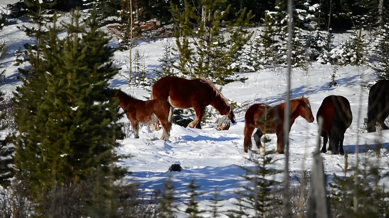 You can see how hard these horses have to work to find food....and winter is just starting