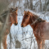 band 16 -  foals