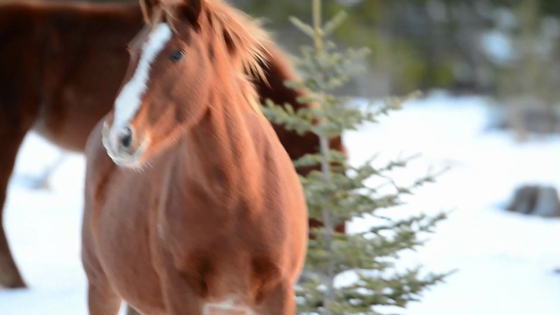 this is the lead mare of one of the Elbow Falls bands and she is always on guard.  I hand held these videos with a big lens :)