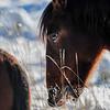 Alberta Wild Horses - needs dental work :)