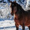 Alberta Wild Horses