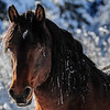 Alberta Wild Horses - frozen tear