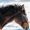 Alberta Wild Horses - bad hair day