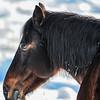 Alberta Wild Horses - peaceful
