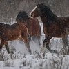 Alberta Wild Horses - another band being herded away from a second band.  The stallion of this band made it clear he was moving them to another area so they wouldn't get mixed up with the second band