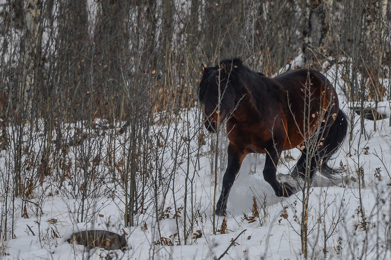 Alberta Wild Horses - Stallion chasing his band off the mountain side in a big hurray