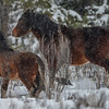 Alberta Wild Horses - he kept band moving until they were far enough away from a second band