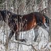 Alberta Wild Horses - stallion