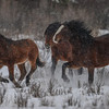 Alberta Wild Horses - the stallion is behind the first 2 horses and he was in a hurry to move them out