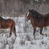 Alberta Wild Horses - mare & foal