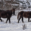 alberta wild horses - after the snow storm