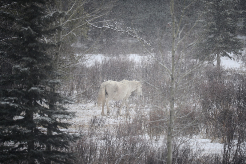 It was very stormy with fog and lots of snow...this is a new band of horses.  This band has a very nice mixture of different coloured horses...this is band 6.  We found 2 new bands today bringing the total bands we have found to <br /> 7 bands