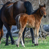 Band 11 -  foal & mom