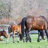 band 11 - colt, foal & mom