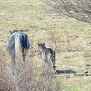 band 6 - gray mare & foal...