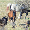 band 6 - you can see the white mare still has birth fluid on her tail...this black foal is only hours old..<br /> Today was a record day for horse sightings....57 adults & 12 foals for a total of 69 horses....what a day it was