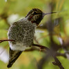 anna's hummingbird - always alert