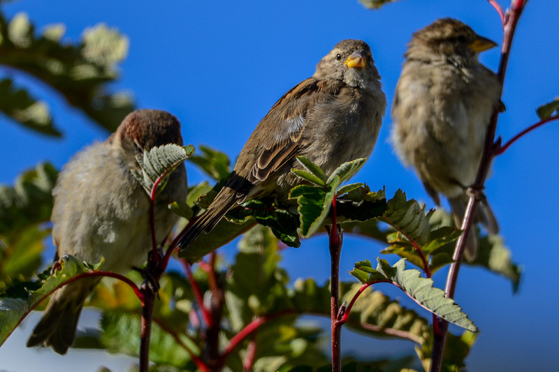 these house sparrows were just happy to sit in the sun and soak it up while it lasts<br /> just shooting for fun....