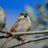 house sparrows soaking up the sun