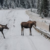 cow and calf moose on the road and a cow moose on the other side of the guard rail<br /> you can see both cows have their ears pinned back meaning they are not happy<br /> they got close enough to fight each other on their hind legs from each side of the guard rail<br /> I missed the fight shots...grrrr