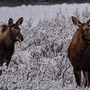 cow & calf moose