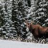 cow & calf moose